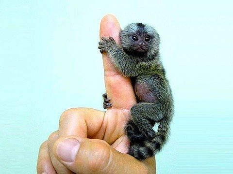 finger-monkey