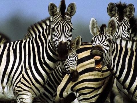 mad-zebra