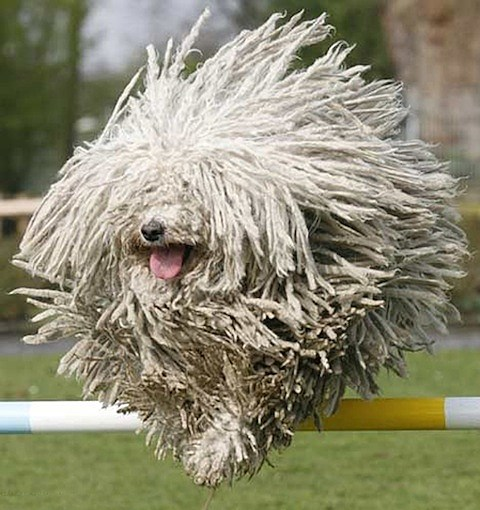 mop-dog-jump.jpg
