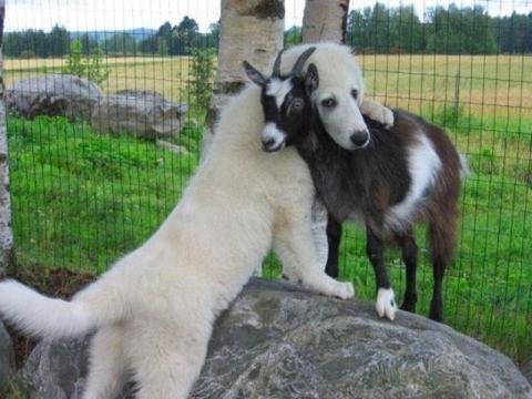 Dog hugs goat