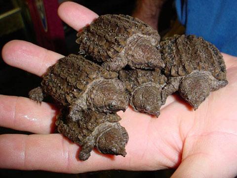 alligator turtles