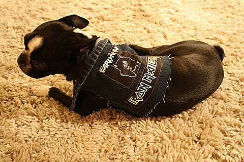 Heavy Metal dog