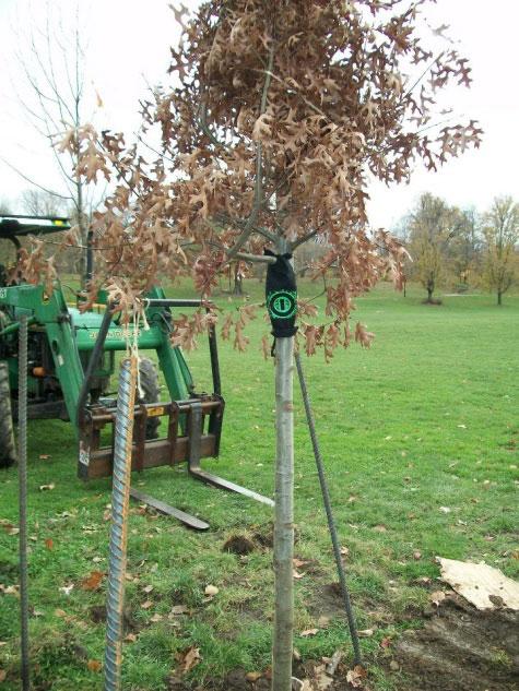 Peters Tree