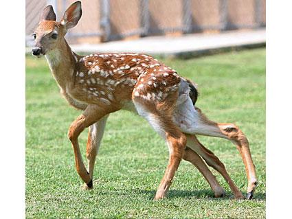 Six legged fawn